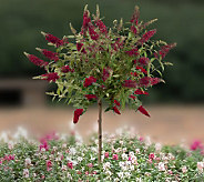 Cottage Farms Royal Red Summer Lilac Patio Tree - M20845