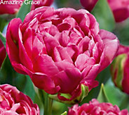 30PC Double Flowering Tulip Collection - M50845