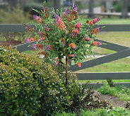 Cottage Farms Gold Pink & Lavender Summer Lilac Patio Tree - M20846