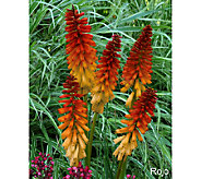 Cottage Farms 3-piece Everblooming Torch Lilies - M46646