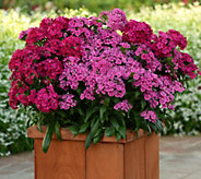 Cottage Farms 4-piece Jolt Summer Dianthus Collection - M49046