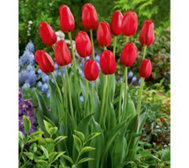 Roberta's 25 Piece Sky High Scarlet Tulip Collection