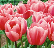 Roberta's 40 Piece Large Flowering Tulip Collection
