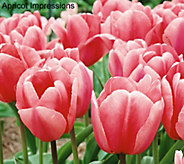 Robertas 40 Piece Large Flowering Tulip Collection - M50847