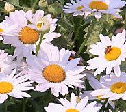 Cottage Farms 4-piece Perpetuals Bright White Shasta Daisy - M56647