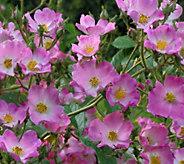 Cottage Farms 4-piece Heatwave Garden Rose Set - M57247
