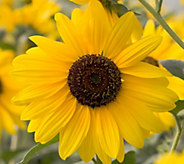 Cottage Farms Endless Blooms Sunfinity Sunflower Auto-Delivery - M57947