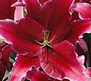Robertas 6-Piece Sumatra Oriental Lily Collection - M58947