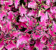 Robertas 6-piece Sun or Shade Colorful Coleus Auto-Delivery - M53948