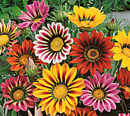 Robertas 9-pc. Brilliant Color Bursting Gazania Collection - M43050