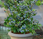 Cottage Farms 2-pc Top Hat Blueberry Collection - M53250