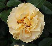 Cottage Farms Julia Child Garden Rose - M57250