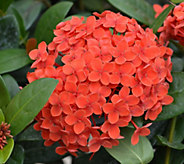 Cottage Farms Tropical Hydrangea Patio Tree - M53251