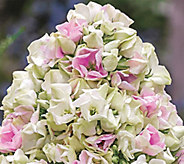 Brecks 3 piece Double Flowering Fragrant Phlox - M52052