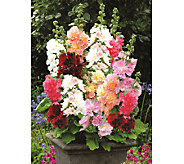 Robertas 6-pc. Short & Sweet Celebrities Series Hollyhock - M43053