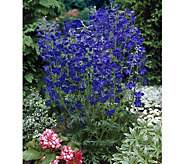 Cottage Farms Diamond Blue Larkspur 4-pc Collection - M49953