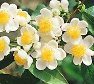 Robertas 2-piece Camellia Chinese Tea Plant - M56553