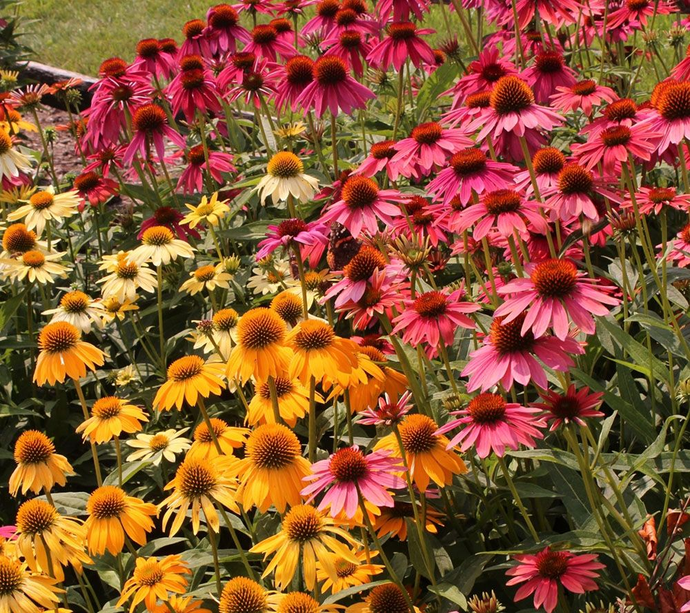 Cottage Farms Perpetuals Rainbow Coneflowers 5-pc Set