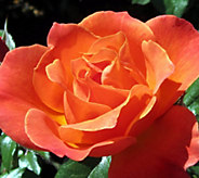Cottage Farms 6-pc Sunset Tango Garden Rose - M53254