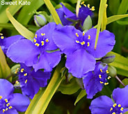 Cottage Farms 5-pc Shade Loving Spiderwort - M53255