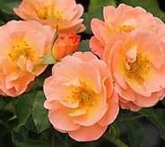 Cottage Farms Peach Drift Tree Rose - M57255