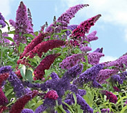 Cottage Farms Dazzling Design 3-piece Tricolor Butterfly Bush - M48956