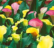Robertas 9-piece Colorful California Calla Lilies - M56556