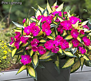 Cottage Farms 6-piece Pink Lightning SunPatiens - M56657