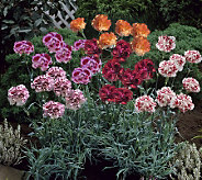 Robertas 6-pc. Jumbo Fragrant First Frilly Dianthus Collection - M29258