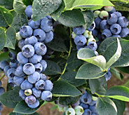 Cottage Farms Bountiful Harvest Profusion Blueberry - M48958
