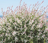 Cottage Farms Dappled Pink Willow Tree - M57258