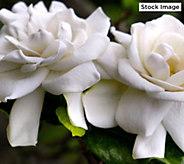 Robertas 1-piece Crown Jewel Hardy Gardenia - M57358
