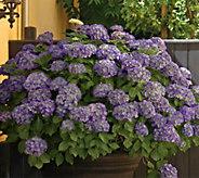 Cottage Farms Violet Crown Hydrangea - M56659