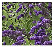 Cottage Farms 3-Piece True Blue Butterfly Bush - M115160