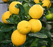 Robertas Quick Fruiting Meyer Lemon Patio Tree - M43060