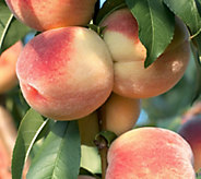 Cottage Farms Georgia Belle White Peach Tree - M48960