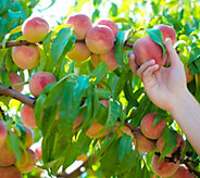 Cottage Farms Red Haven Patio Peach Tree - M53260