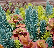 Cottage Farms 4-piece Tricolor Sedum Collection - M57260
