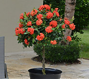 Cottage Farms Jungle Fire Ixora Patio Tree - M57460