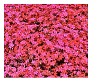 Cottage Farms 9 pc Scarlet Flame Carpet Phlox Groundcover - M101961