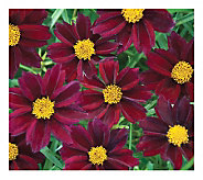 Cottage Farms 4-Piece Mercury Rising Coreopsis - M115162