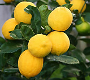 Robertas 2-in-1 Meyer Lemon & Cocktail Lime Patio Tree - M43062