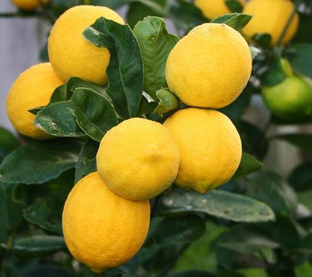 Roberta 39 S 2 In 1 Meyer Lemon Cocktail Lime Patio Tree