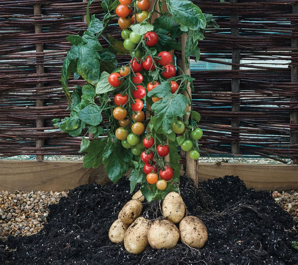 Cottage Farms Ketchup-N-Fries Tomato & Potato Plant