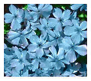 Cottage Farms 9 pc Emerald Blue Carpet Phlox Groundcover - M101963