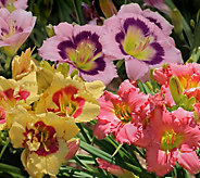 Cottage Farms 6-piece Sunny Days Daylily Collection - M56663