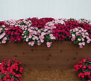 Cottage Farms 6-Piece Wild Romance SunPatiens Auto-Delivery - M58864