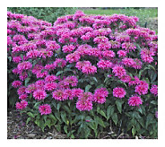 Cottage Farms 4-Piece Bubblegum Blast Sugar Buzz Monarda - M115166