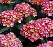Cottage Farms 3-piece Reblooming Hydrangea Collection - M46266