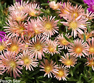 Robertas 18-pc Hardy Succulent Flowering Ice Plant - Peach Star - M49066